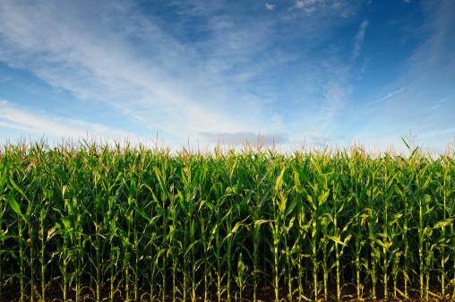 Corn - Crop「USA, Oregon, Marion County, Corn field」:スマホ壁紙(12)