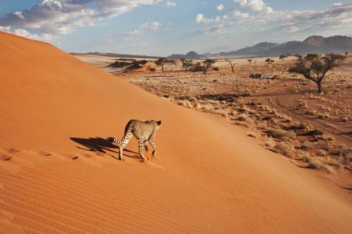 Mammal「Cheetah (Acinonyx jubatus) on dune with desert landscape, Namibia, southern Africa」:スマホ壁紙(7)