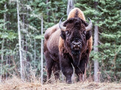 Horned「North American Bison.」:スマホ壁紙(14)