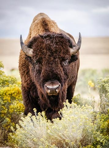 Horned「North American Bison」:スマホ壁紙(18)