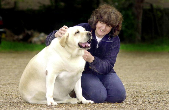 Pets「Labrador Dog Forced Onto Diet」:写真・画像(11)[壁紙.com]