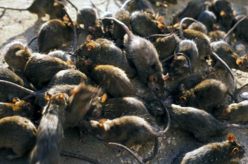 Mammal「black rat」:スマホ壁紙(18)