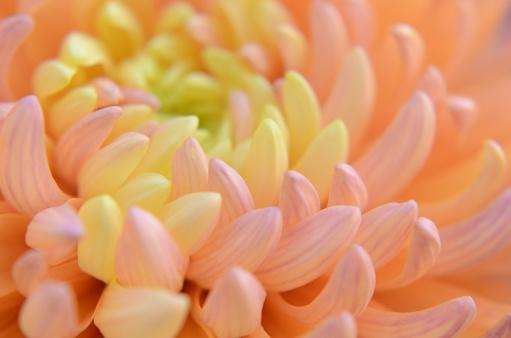Wedding Invitation「Flower Pastel Chrysanthemum Orange Coral Yellow Gradient Ombre Spring Autumn Floral Pattern Soft Focus Macro Photography」:スマホ壁紙(4)