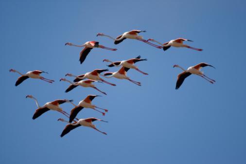 Flock Of Birds「Flamingos, Skeleton Coast, Namibia」:スマホ壁紙(2)