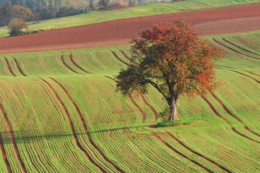 Plowed Field「Pear tree in field, autumn.」:スマホ壁紙(7)