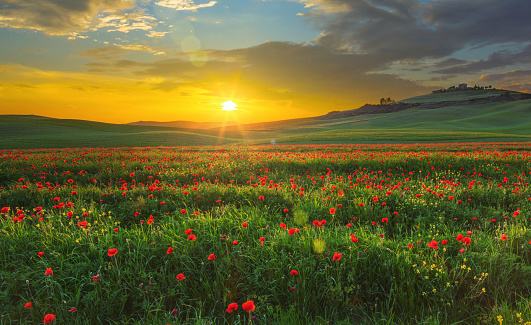 Agricultural Field「Landscape with poppies in Tuscany, Italy at sunset」:スマホ壁紙(3)