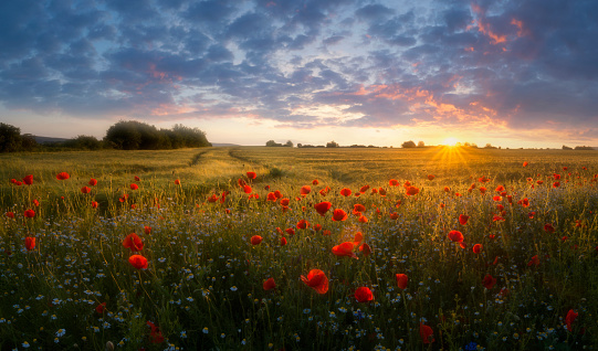 Wildflower「Landscape with poppies at sunset.」:スマホ壁紙(12)