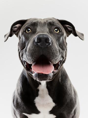 Stray Animal「Pit bull dog studio portrait」:スマホ壁紙(19)