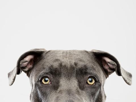 Animal Head「Pit bull dog studio portrait」:スマホ壁紙(10)
