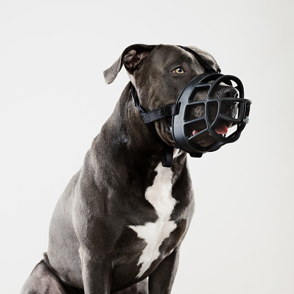 Guard Dog「Pit bull dog guarding with muzzle」:スマホ壁紙(13)