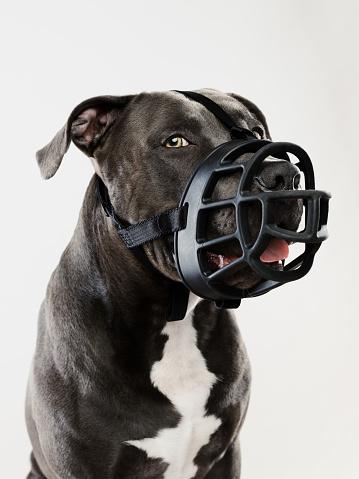 Guard Dog「Pit bull dog guarding with muzzle」:スマホ壁紙(17)
