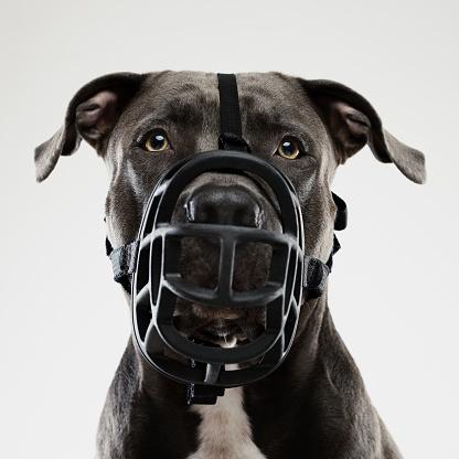 Guard Dog「Pit bull dog posing with muzzle」:スマホ壁紙(18)
