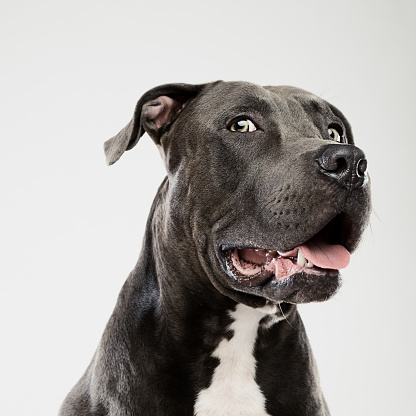 Fear「Pit bull dog looking at camera studio portrait」:スマホ壁紙(16)