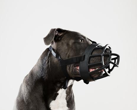 Aggression「Pit bull dog with big muzzle」:スマホ壁紙(0)