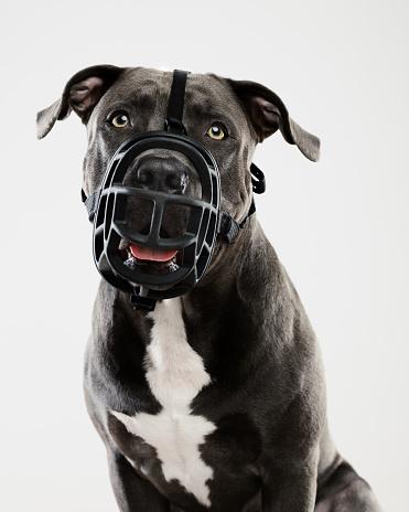 Waist Up「Pit bull dog portrait with muzzle」:スマホ壁紙(17)