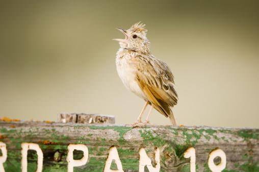 Singer「Clapper lark, Mirafra apiata, male singing at song post, Central Kalahari Game Reserve, Botswana」:スマホ壁紙(16)