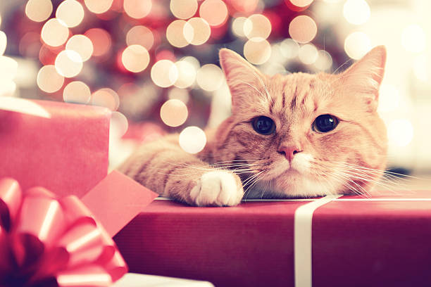 ginger British Shorthair cat in the Christmas interior:スマホ壁紙(壁紙.com)