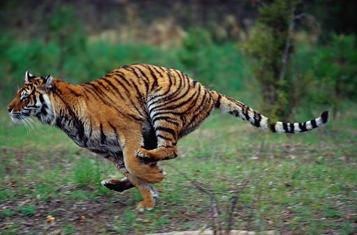 Tiger「Captive Siberian Tiger Running」:スマホ壁紙(5)
