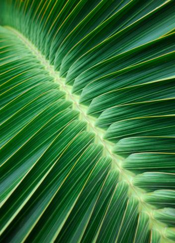 Palm Leaf「Palm Leaf Background (XXXL)」:スマホ壁紙(18)