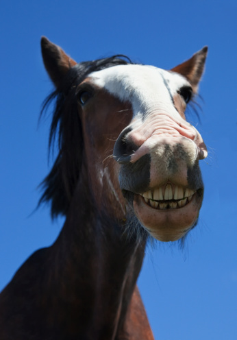 Horse「A Horse Smiling And Showing It's Teeth」:スマホ壁紙(6)