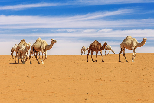 Walking「Herd of camels in the desert, Saudi Arabia」:スマホ壁紙(3)