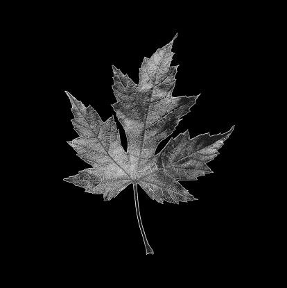 かえでの葉「Black and white maple leaf with silver tinge.」:スマホ壁紙(7)