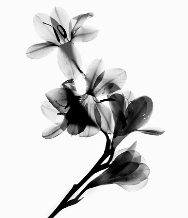 Offbeat「black and white flower scanned」:スマホ壁紙(14)