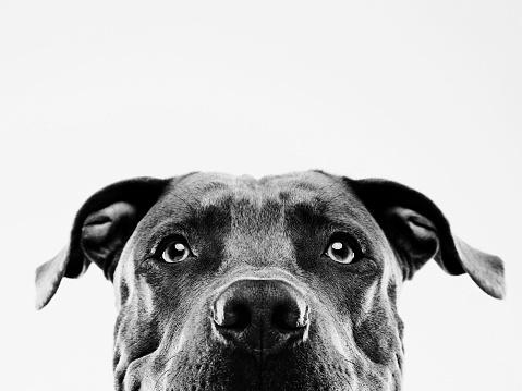 Mixed-Breed Dog「Black and white pit bull dog studio portrait」:スマホ壁紙(12)