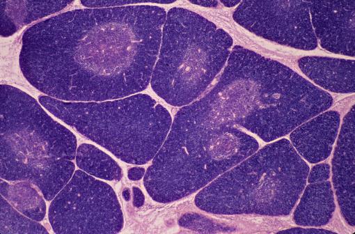 Immune System「THYMUS. 10X Shows: numerous lobules, cortex (darker with numerous lymphocytes), medulla (lighter). Produces a hormone thymosin.」:スマホ壁紙(15)