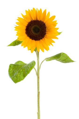 Growth「sunflower isolated on white」:スマホ壁紙(4)