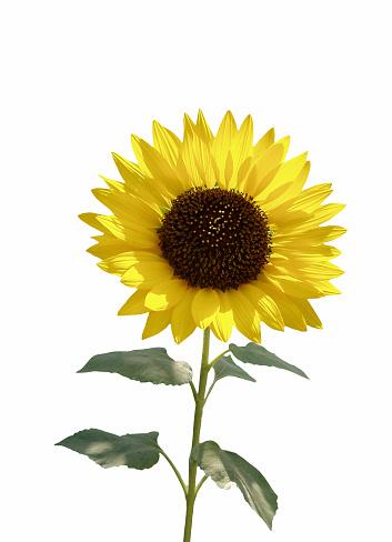 Focus On Background「Sunflower isolated on white」:スマホ壁紙(6)