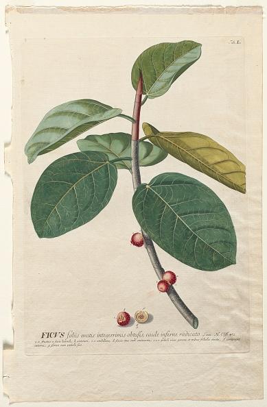 Tropical Tree「Plantae Selectae: No. 50 - Ficus. Creator: Georg Dionysius Ehret (German」:写真・画像(2)[壁紙.com]