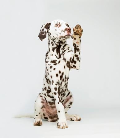Pleading「A Dalmatian dog raising its paw」:スマホ壁紙(9)