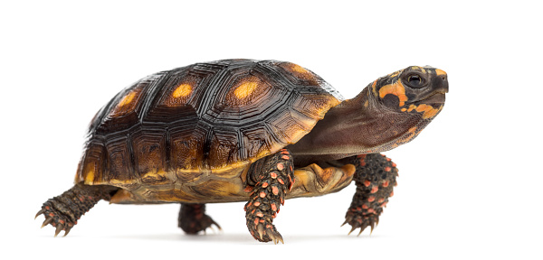 Belgium「Red-footed tortoises isolated on white」:スマホ壁紙(7)