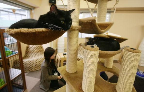 Tokyo - Japan「Cat Cafes Attract People In Tokyo」:写真・画像(16)[壁紙.com]