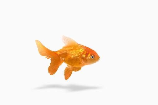 Pets「Goldfish floating on white background」:スマホ壁紙(14)