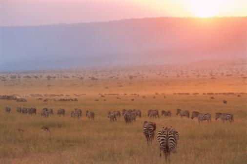 Escarpment「Common zebras and wildebeest at sunset」:スマホ壁紙(14)