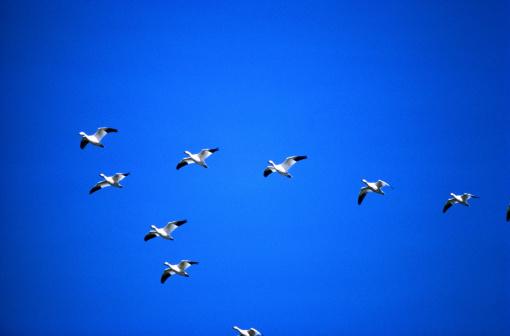 Flock Of Birds「Snow geese (Chen caerulescens) flying in 'V' formation」:スマホ壁紙(16)