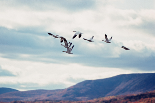Flock Of Birds「Snow geese in flight in mountain landscape」:スマホ壁紙(19)
