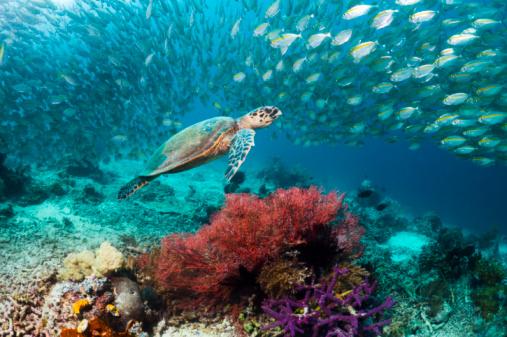 Soft Coral「Hawksbill turtle」:スマホ壁紙(13)