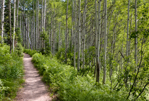 Aspen Tree「Trail in Aspen woods」:スマホ壁紙(7)