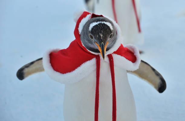 Animal Themes「Penguins Dress Up For Christmas At Harbin Polarland」:写真・画像(17)[壁紙.com]