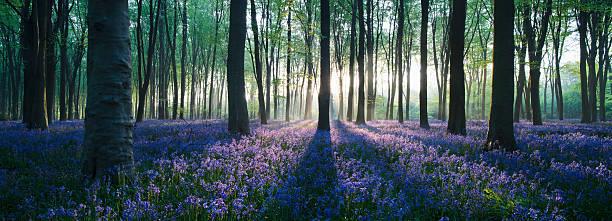 Dawn in bluebell woodland (Hyacinthoides non-scripta), Hampshire, England:スマホ壁紙(壁紙.com)
