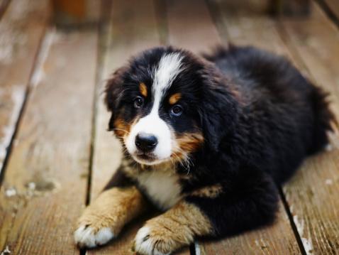 British Columbia「Bernese Mountain Dog puppy lying on deck」:スマホ壁紙(10)