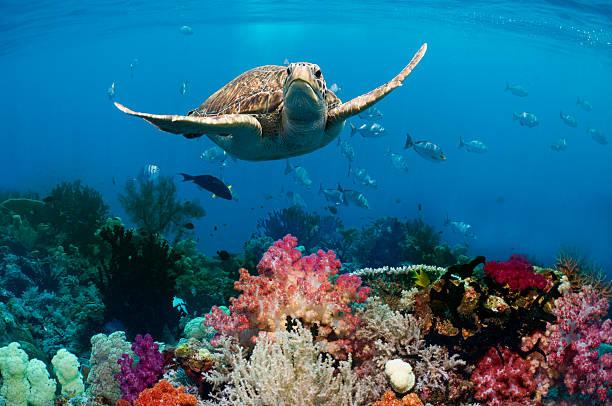 Green sea turtle over coral reef:スマホ壁紙(壁紙.com)