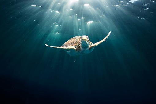Rare「Green sea turtle」:スマホ壁紙(7)