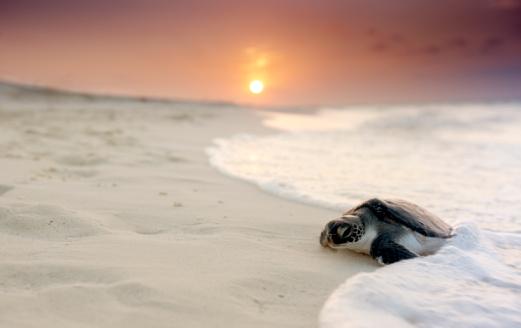 Rare「Green sea turtle (Chelonia mydas)」:スマホ壁紙(18)