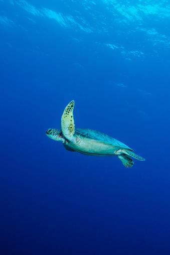 Parasitic「Green Sea Turtle or Hawksbill Sea Turtle - Palau」:スマホ壁紙(18)