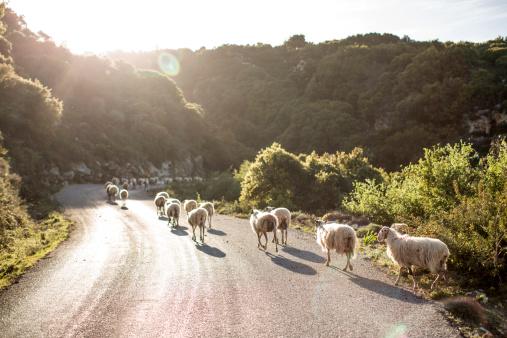 Walking「Sheep crossing road, Crete, Greece」:スマホ壁紙(18)