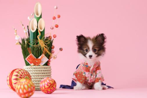 Kimono「Papillon Puppy and Japanese New Year Celebration」:スマホ壁紙(4)